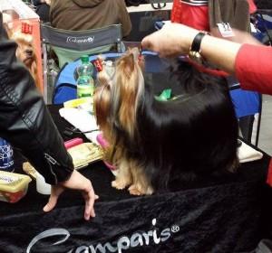 Yorkshire Terrier Ausstellung lung 8