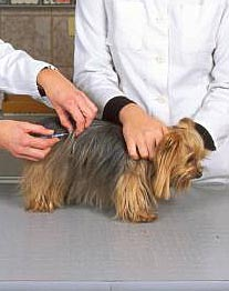 Yorkie Tierarzt