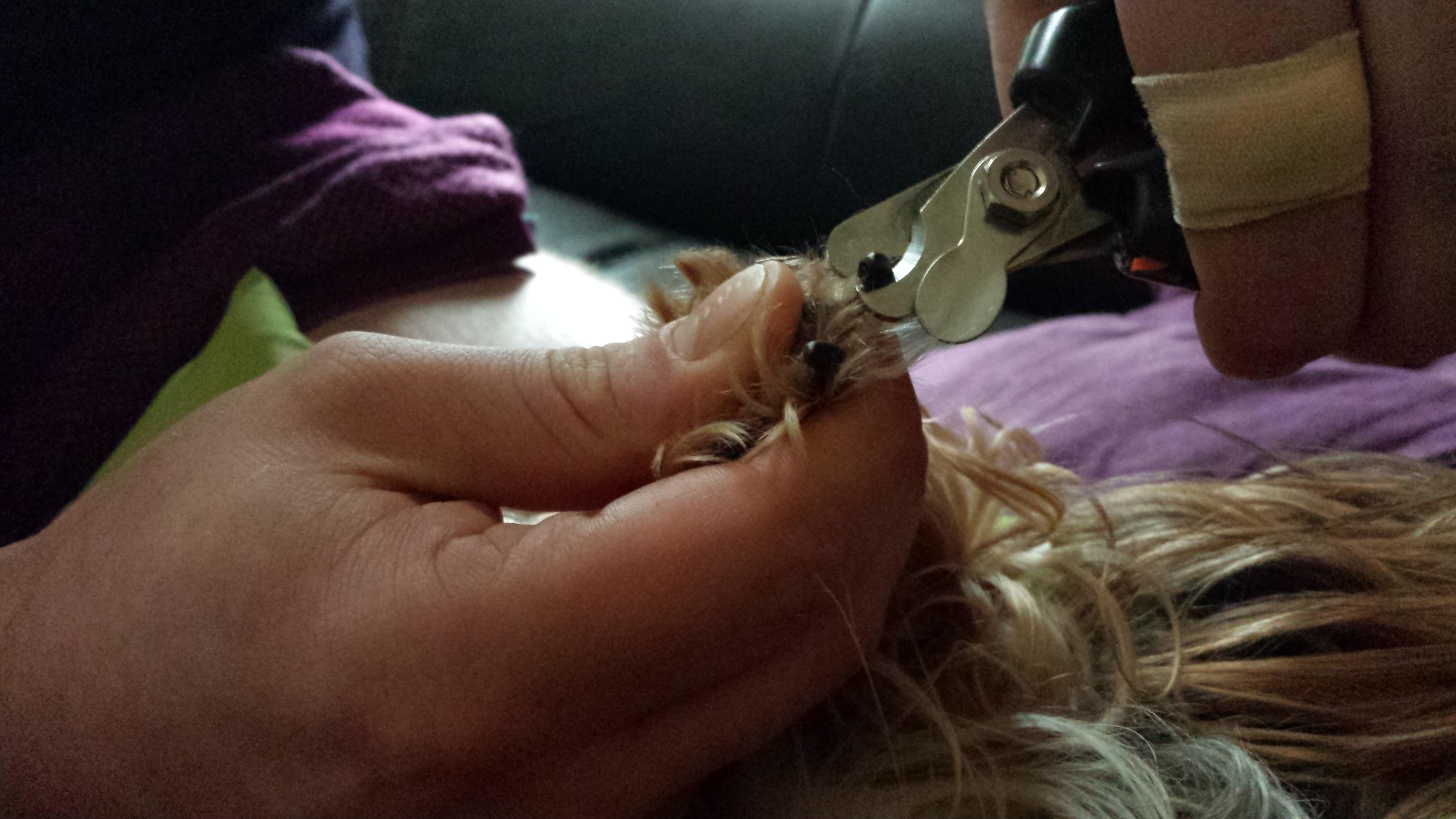 DIY - Krallen Schneiden | Yorkshire Terrier Blog