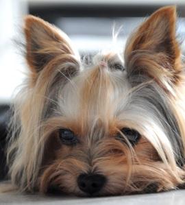Yorkshire Terrier mit Stehohren