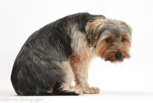 Yorkshire Terrier Unsicher